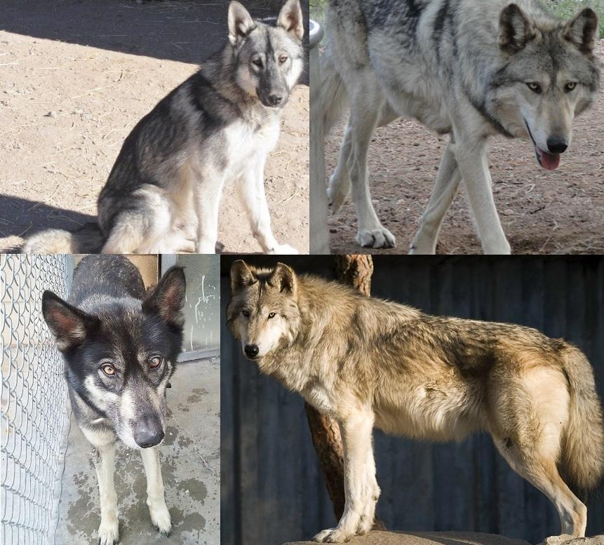 Wolves Song Of The Shepherd S Dog Lyrics