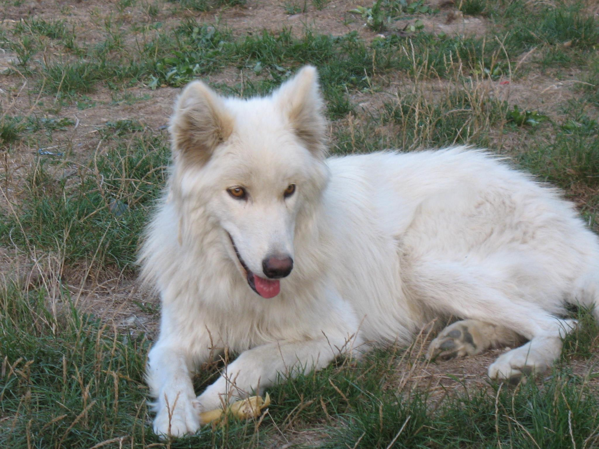 or White Wolf Hybrid With Blue Eyes