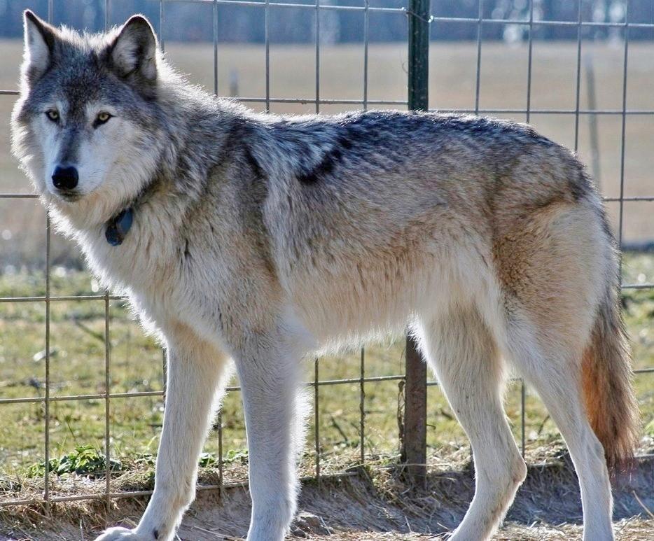 Wolfdog Phenotyping and Debunking. • non-wolfdogs: naturepunk ...