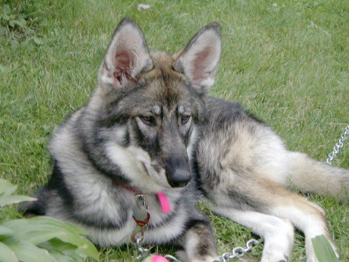 Black German Shepherd Wolf Mix Puppies