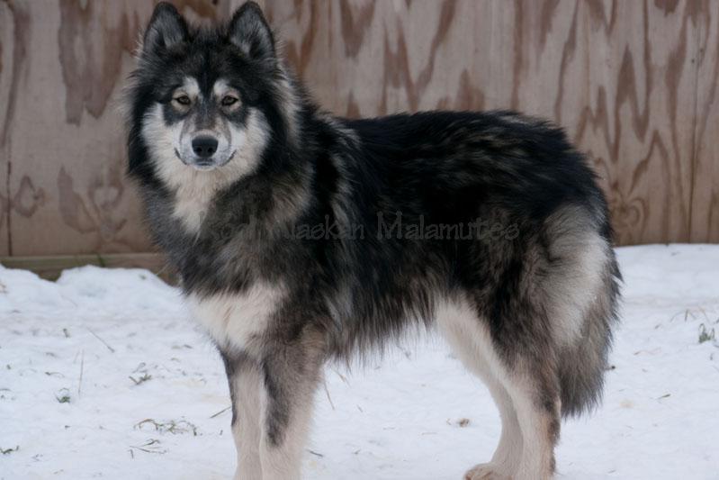 wooly malamute/siberian husky cross, bred by Kodi Alaskan Malamutes.