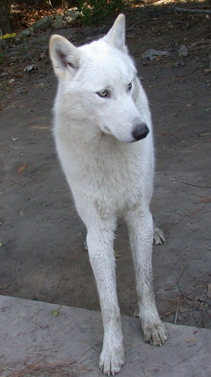 White Wolf Husky Mix