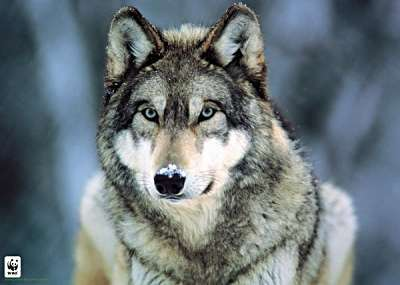 Wolfdogs: Comparison - Wolf-dog Education...