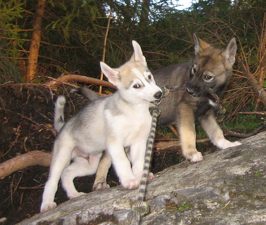 Wolf Husky Mix Puppies